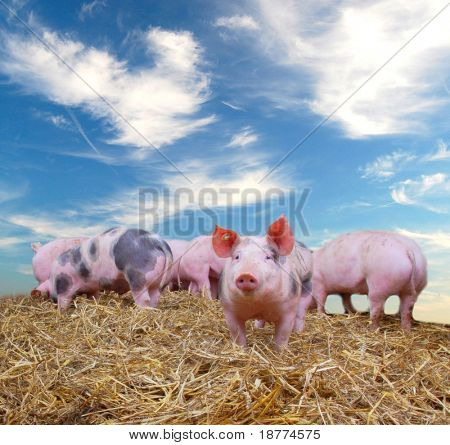 Gang of young pigs on straw with blue sky