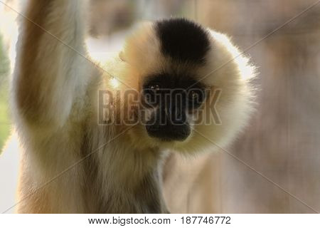 Female gibbon looks into camera. Face white monkey.
