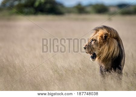 Side Profile Of A Big Male Lion In The Grass.