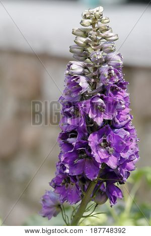 Flowers of delphinium flower on the branch of the plant
