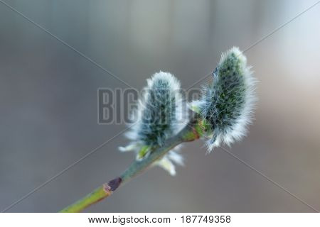 Beautiful catkins of a willow closeup. Spring blossom.