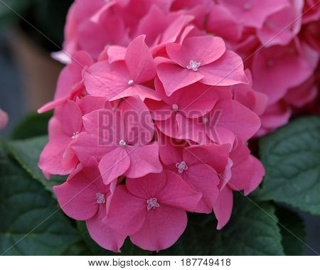 The impatiens new guinea flower blossomed between the leaves