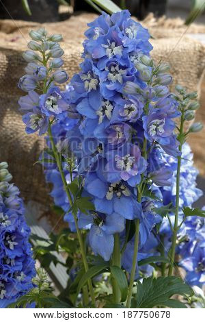 Blue flowers delphinium smell the garden in the spring