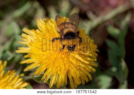 Bumble bee sits on a dandelion flower. Spring blossom.