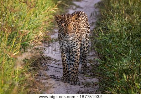 Leopard Standing In The Sand In The Kalahari.