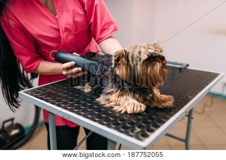 Pet groomer with haircut machine, dog hairstyle