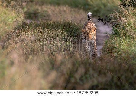 Leopard Walking Towards The Camera.