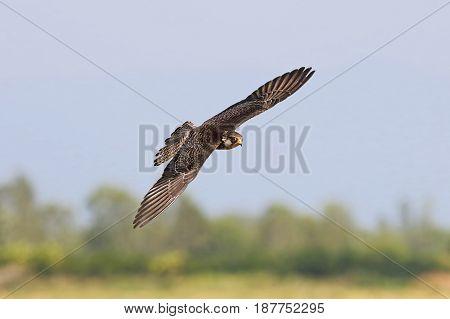 Amur falcon Falco amurensis cute Birds Flying