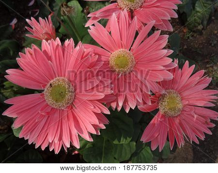 pink Gerber Daisies at garden .  flower photo.