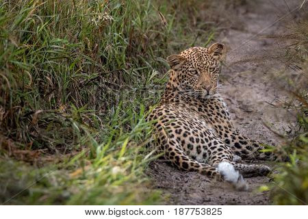 Leopard Laying In The Sand In The Kalahari.