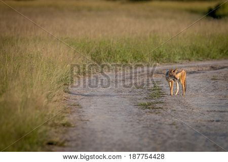 Black-backed Jackal Standing On The Road.