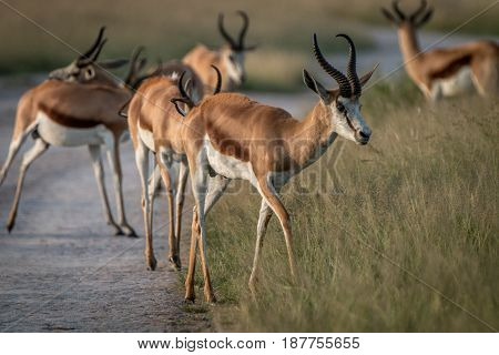 Springbok Standing On The Road.