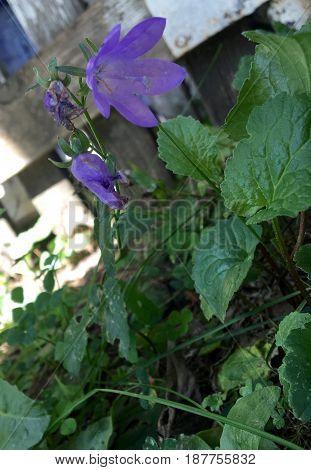 Purple flower that was growing in St. Cloud, MN