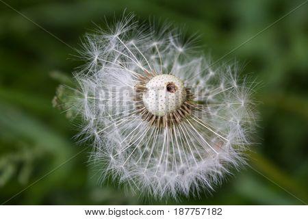 Dandelion. The seeds of a dandelion. Fuzzes