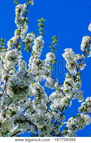 white flowers on branches of cherry blossom tree