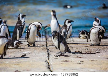 African black - white penguins on the Atlantic coast. Boulders Penguin Colony in the Table Mountain National Park, South Africa. The concept of  ecotourism