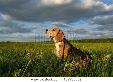 Dog Beagle on a walk on a summer evening on the green field