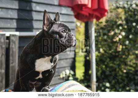 French Bulldog Puppy Sitting In A Garden