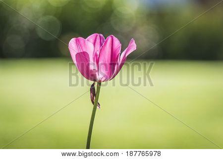 Tulip Flower In A Green Garden