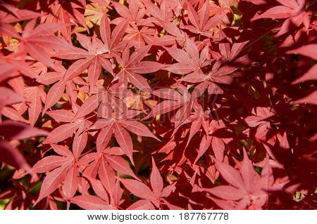 The leaves of the red Japanese maple close up