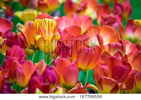 Red, orange and yellow tulips in the garden in spring