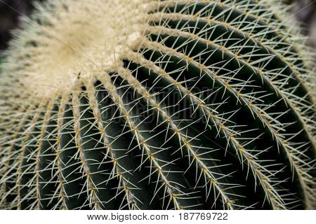 Green cactus with a lot of spikes