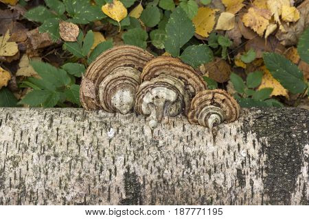 Mushrooms Growing On The Trunk Of A Birch Autumn Background.