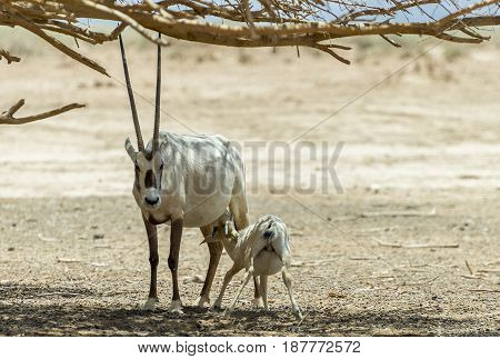 Antelope Arabian white oryx (Oryx dammah) inhabits the Israeli nature reserve because this species is in danger of extinction in its native environment of Sahara desert poster