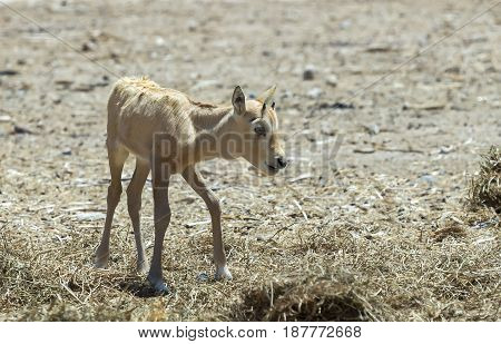 Bay of antelope Arabian white oryx (Oryx dammah) inhabits the Israeli nature reserve because this species is in danger of extinction in its native environment of Sahara desert
