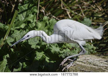 Lovely Little Egret Bird Gretta Garzetta On Riverbank In Spring Sunshine Poised Ot Dive Into Water F
