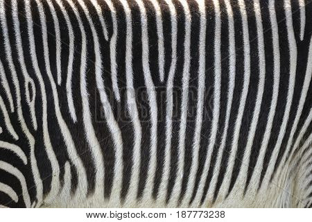 Lovely Grevy's Zebra Equus Grevyi Close Up Of Striped Fur