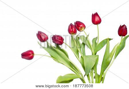 beautiful red spring tulips on white background
