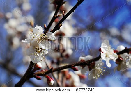 Apricot - fruite tree. Beautiful spring flower. White.