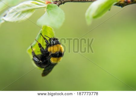 Furry Bumble Bee Hanging On A Leaf