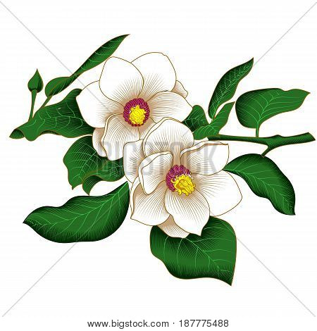 Magnolia flower, blossom magnolia flower, drawn magnolia flower, colorful magnolia flower, decoration magnolia flower. Vector.