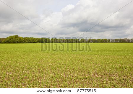 Pea Fields And Woodland