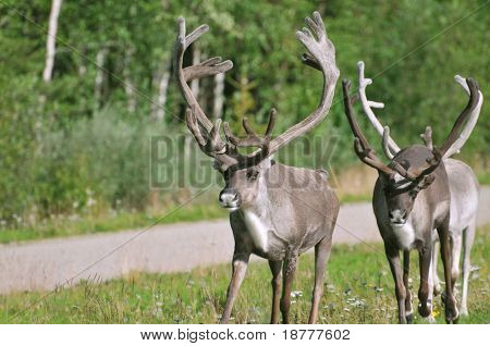 Two wild reindeer approaching on a roadside in Lapland, Scandinavia