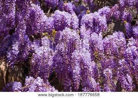 Beautiful Purple Wisteria in Bloom in Italy. Flower background