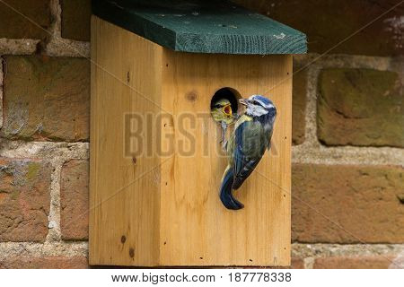 Juvenile Blue Tit (cyanistes Caerules) Fledging From Nest Box