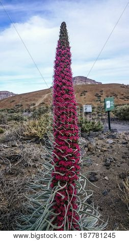 Endemic to Canary islands the big red flower blooming in May.