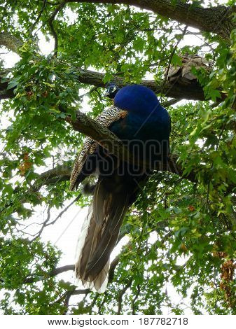 Photo of a blue peafowl sitting on the tree