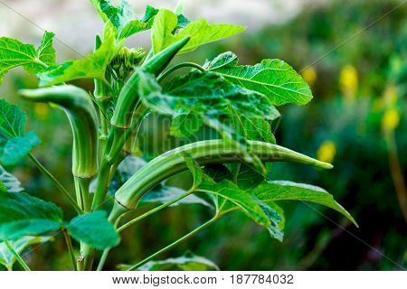 Okra plant close up organic produce food farming