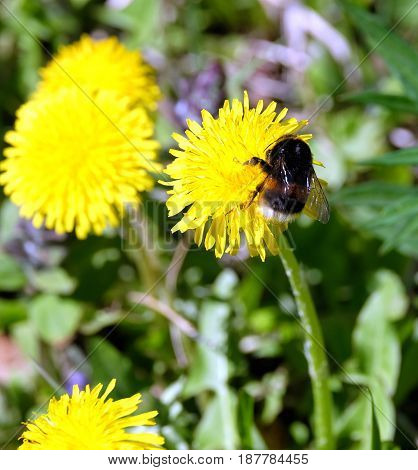 A large stripe furry bumble bee gathers pollen on a dandelion flower petals, in green grass on a clear, sunny summer day close up view