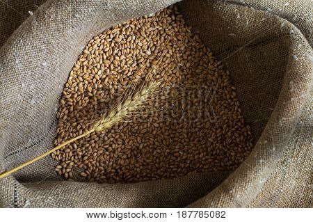 Wheat grains and ear in the sack