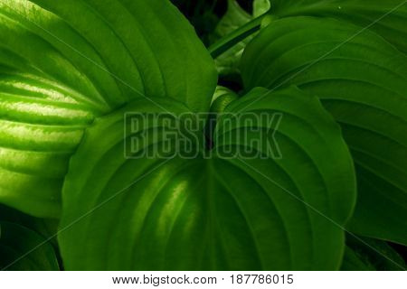 Green dense leaves of not blossoming flowers in a shady park