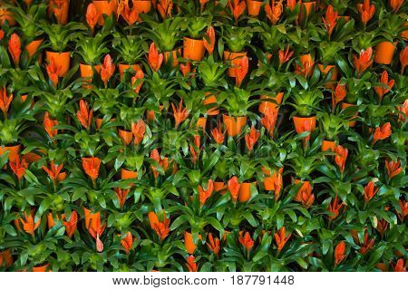 The wall of beautiful bright orange flowers
