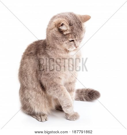 The gray cat sits having raised a forepaw. The cat attentively looks observes. It is isolated on a white background