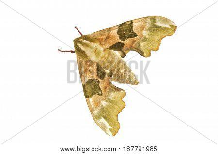 Lime Hawk-moth (mimas Tiliae) On A White Background