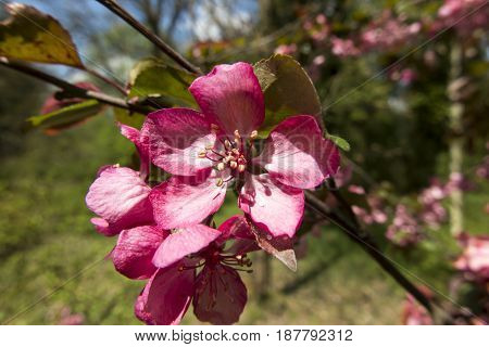 Twig of an apple tree with a pink flower in the spring