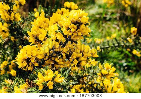 Yellow gorse flowers on a bush. Captured in Ireland.